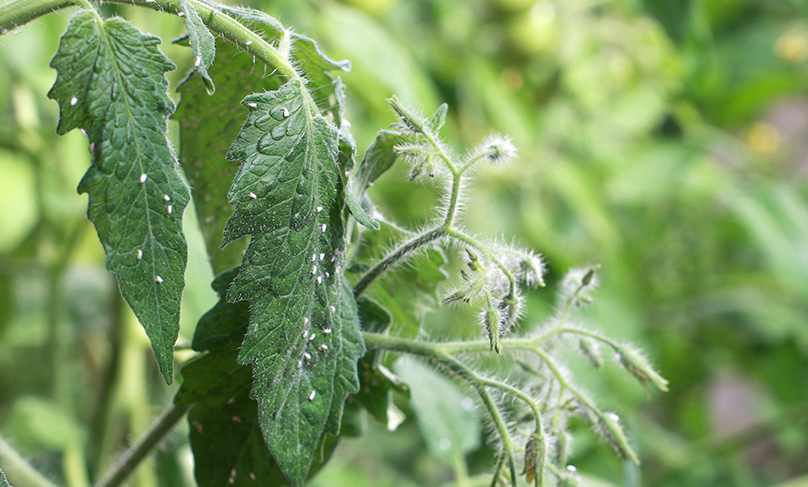 Tomato Plant with Whitefly
