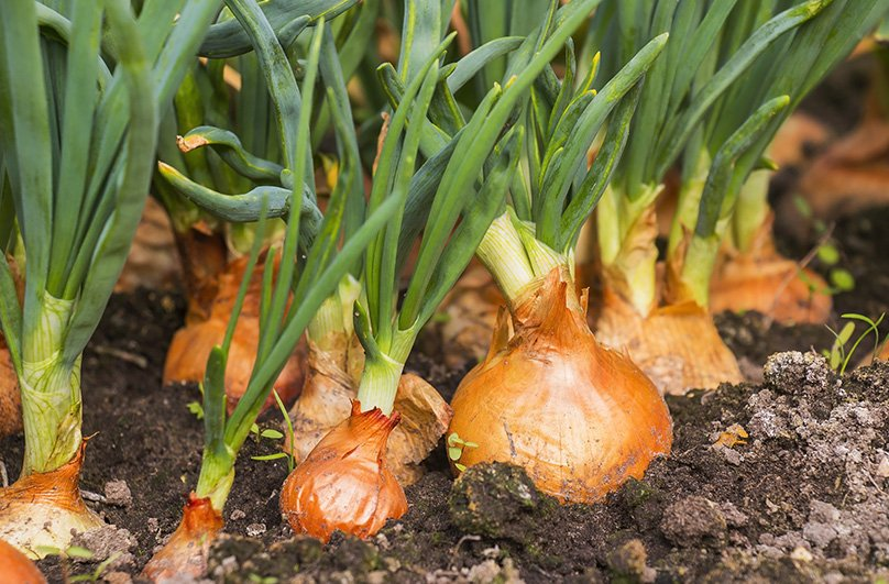 Your onions growing