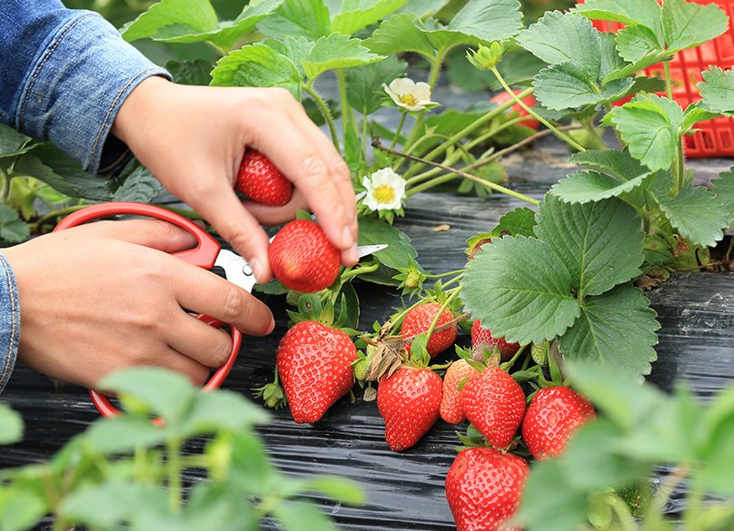 Harvesting your Strawberries
