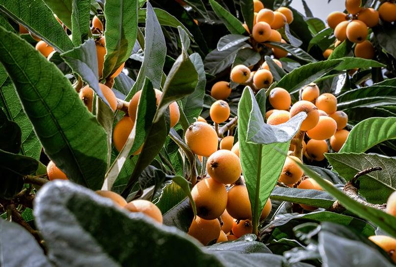 Loquat Fruits