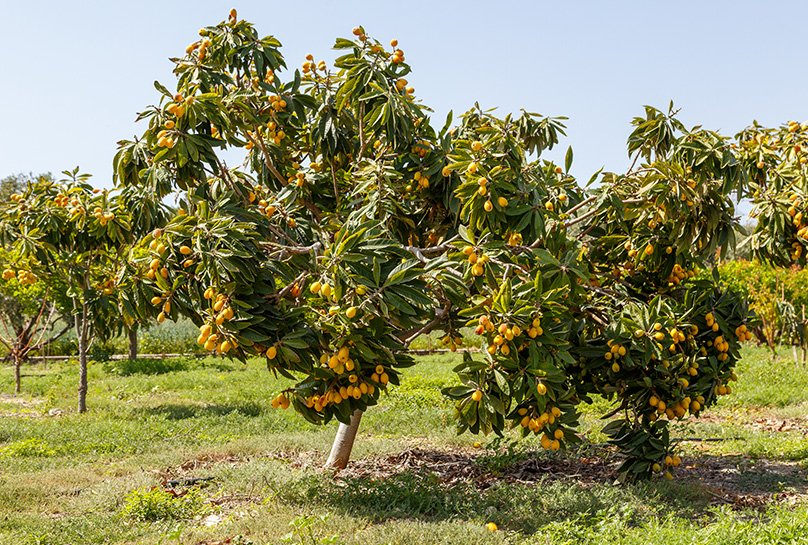 Loquat Trees Growing