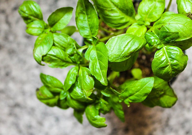 Basil leaves, perfect for Italian Food