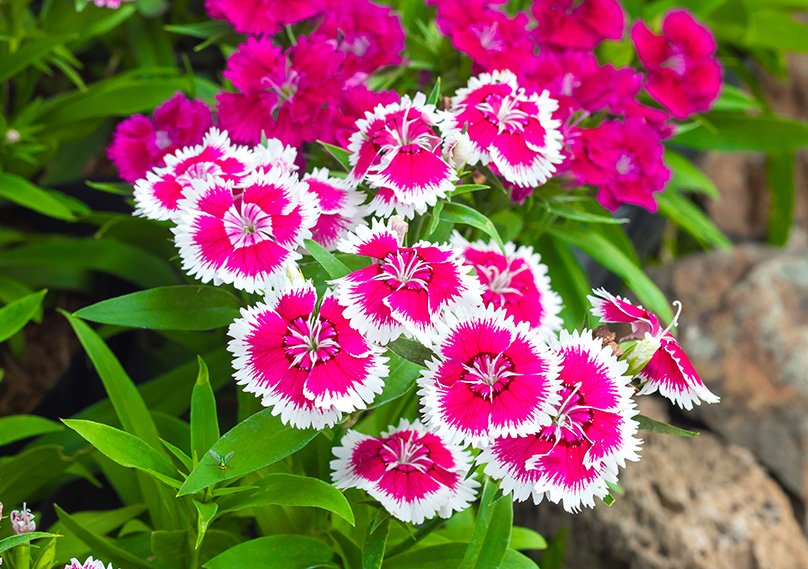 Dianthus is perfect for adding color to your garden