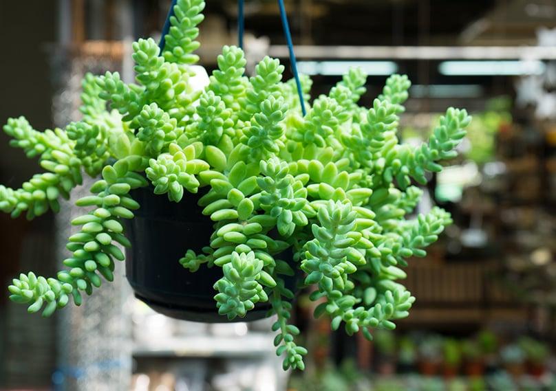 Sedum Morganianum also works in hanging baskets