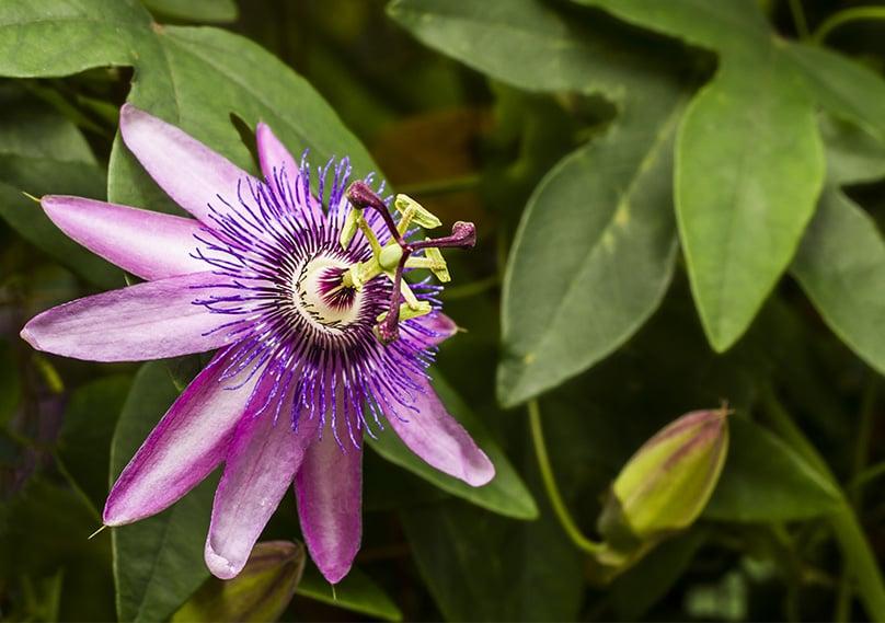 Passiflora Loefgrenii