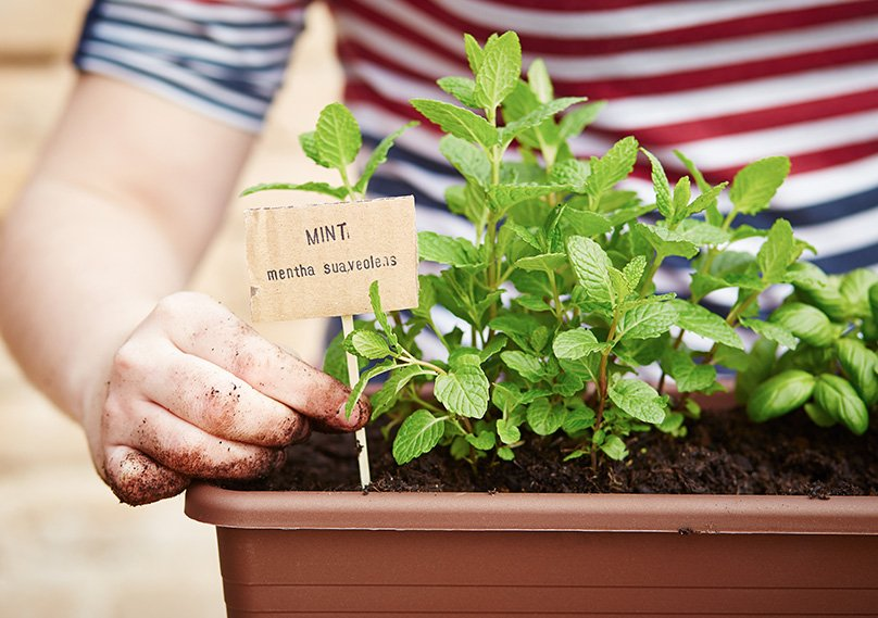 We recommend growing your mint plants in containers