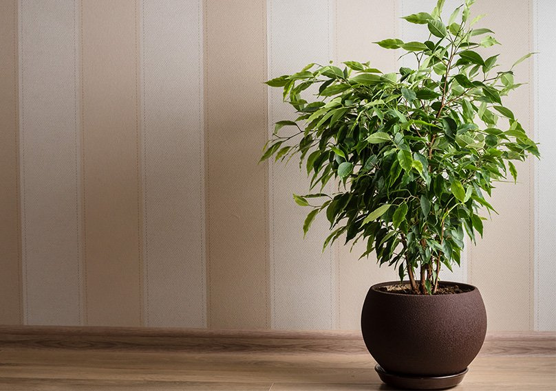 Ficus tree in a planter