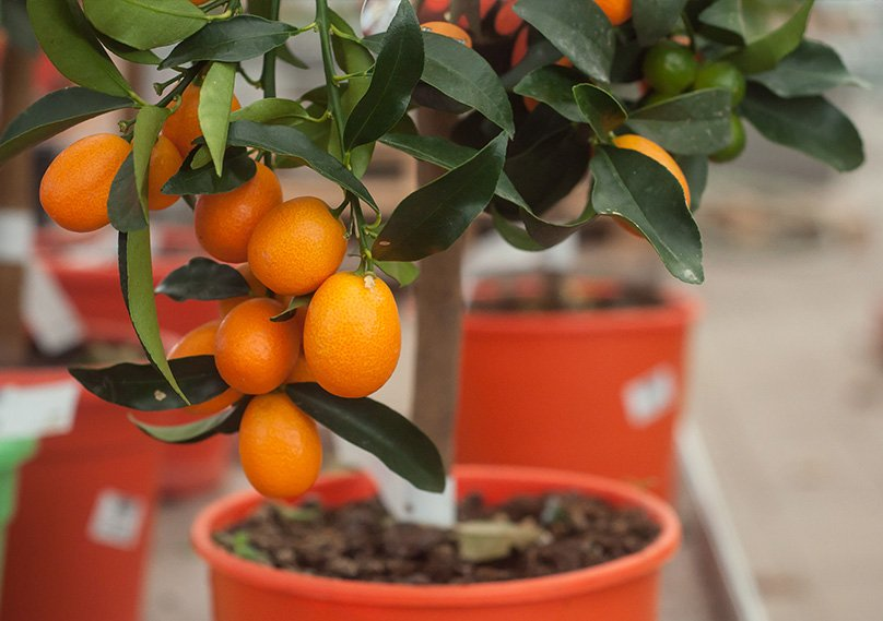 Make sure to repot when your tree grows