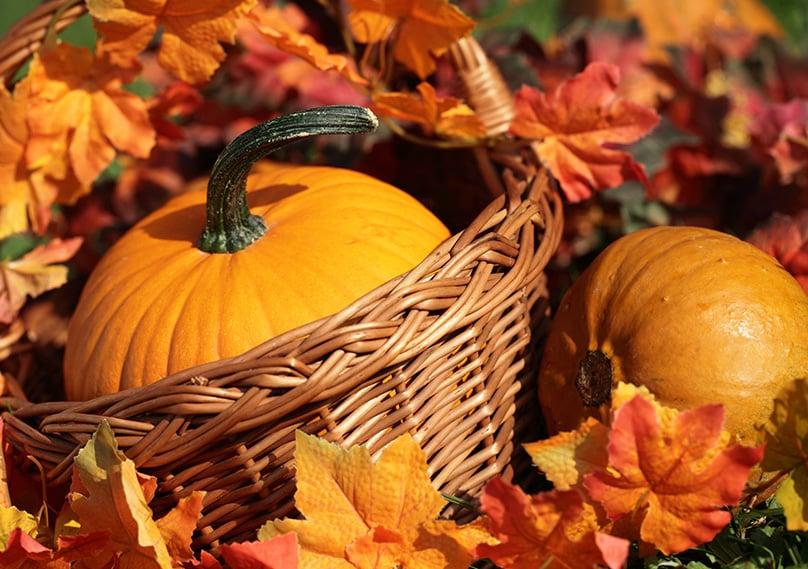The best part - harvesting your pumpkins!