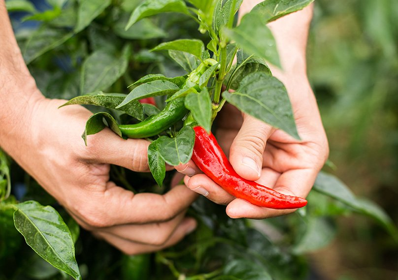 The Best part - harvesting your chilli peppers!