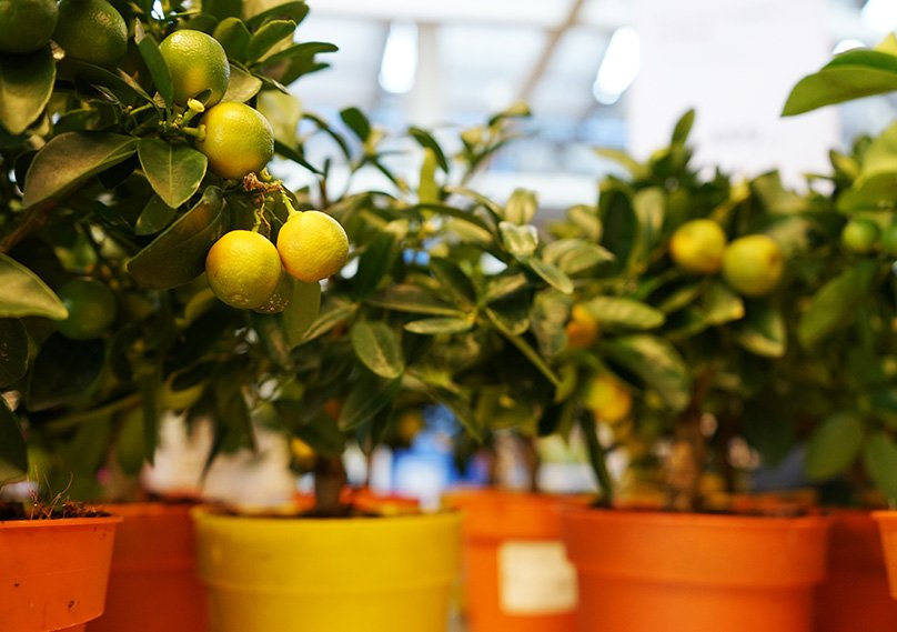 Lemon trees can be grown in pots