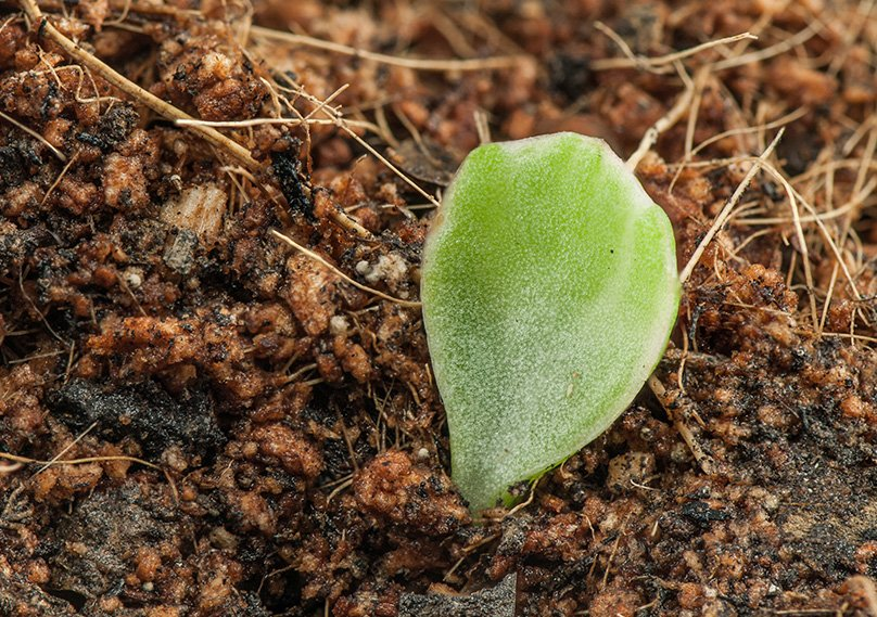 Propagate Using leaves from the plant