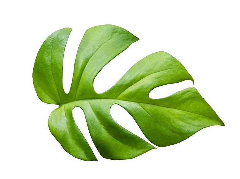Rhaphidophora Tetrasperma leaf