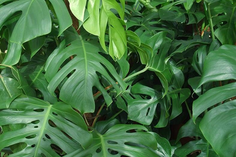 Monstera Deliciosa leaves