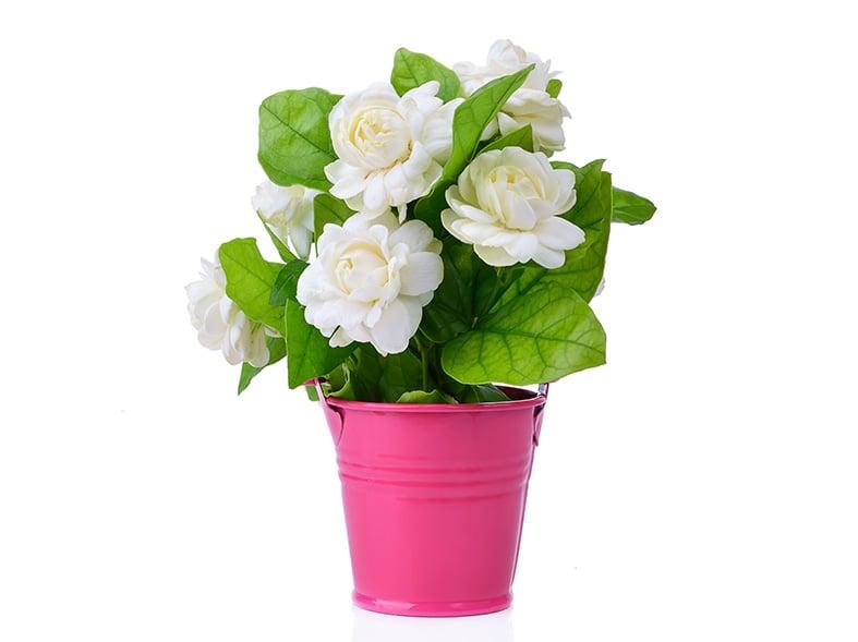 Jasminum Sambac can be grown in pots