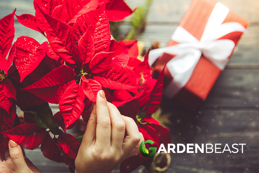 Christmas Flowers & Plants