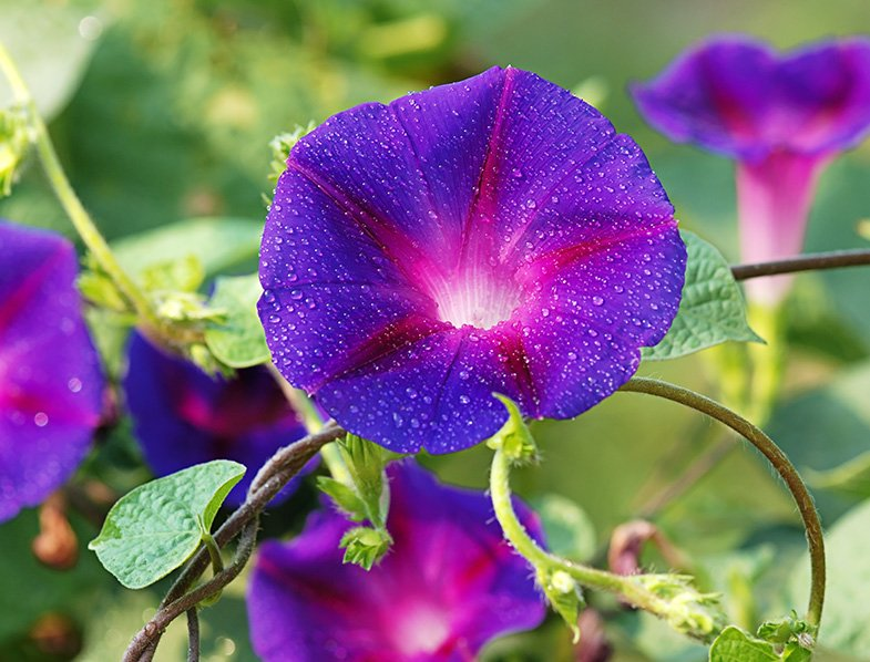 Guide To Morning Glory How To Grow Care For Ipomoea