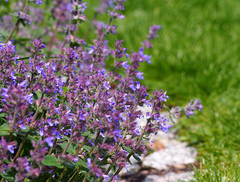Catmint or Catnip plants