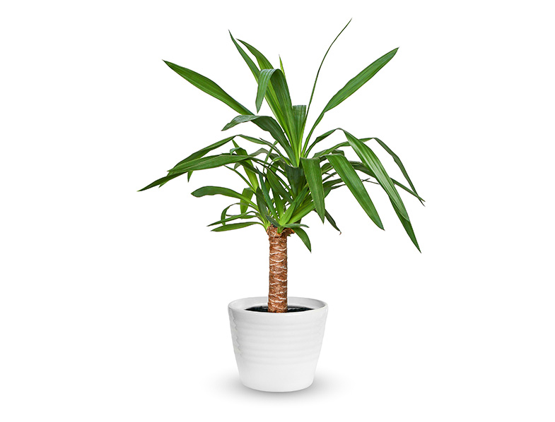 Yuccas make great indoor plants