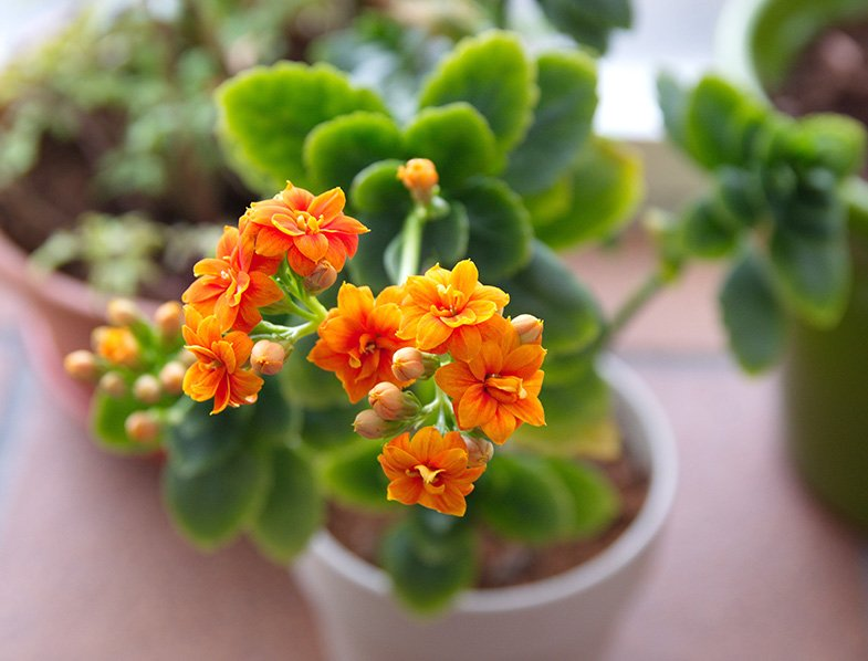 Kalanchoe blossfeldiana plant with orange flowers