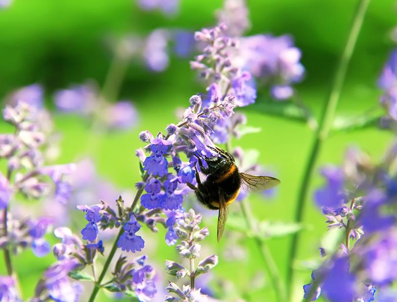 Bumblebee collecting flower pollen