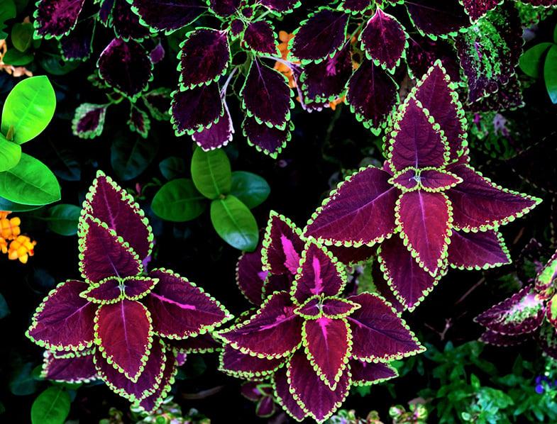 Colorful Coleus Plant