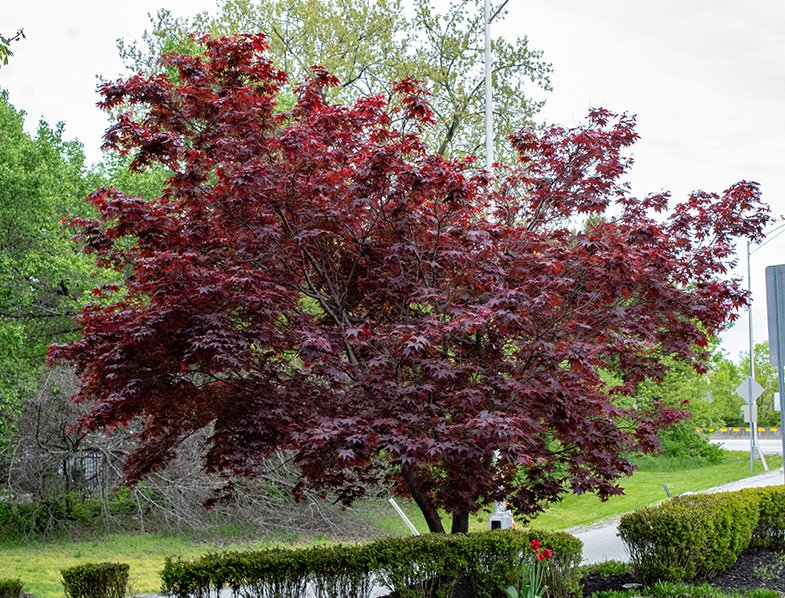 Bloodgood Japanese Maple Tree Guide How To Care For Acer Palmatum