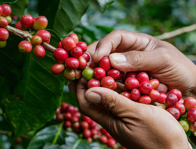 Harvesting the berries from a coffee plant