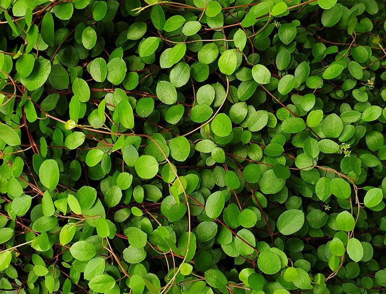 Angel Vine leaves