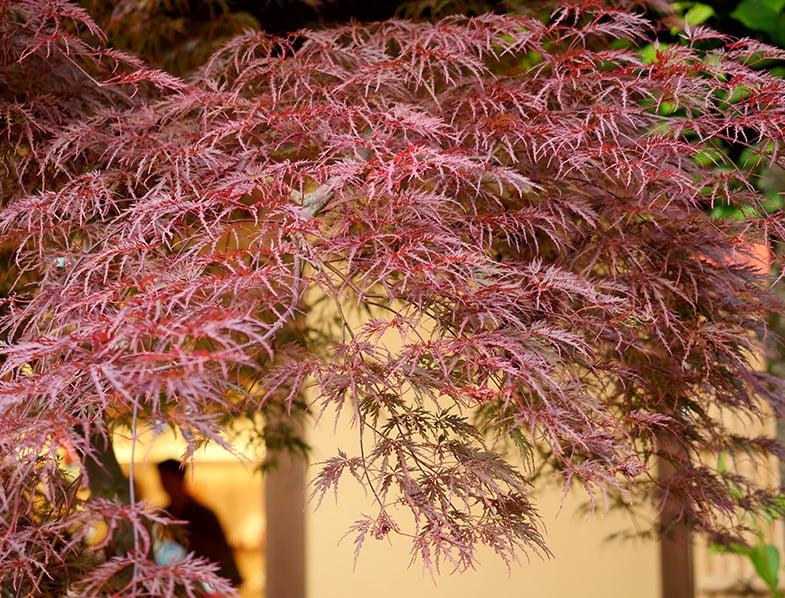 Weeping Acer palmatum