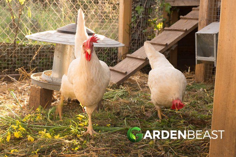 Best Chicken Coop Reviews: Complete Buyer's Guide