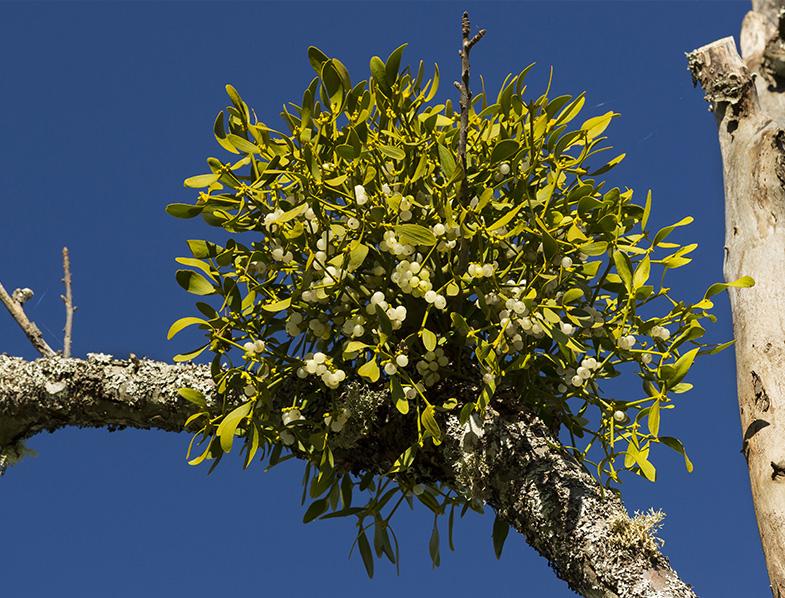 Mistletoe growing