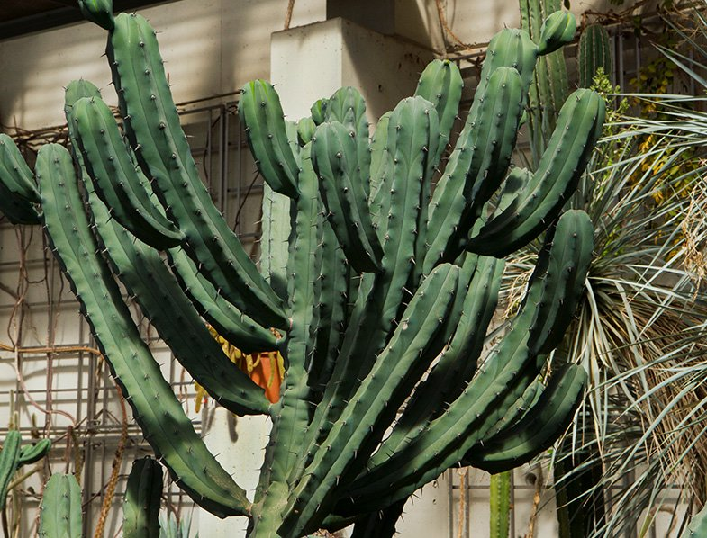 Blue Candle Cactus