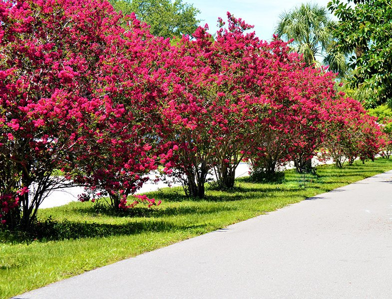Crape Myrtle trees in bloom