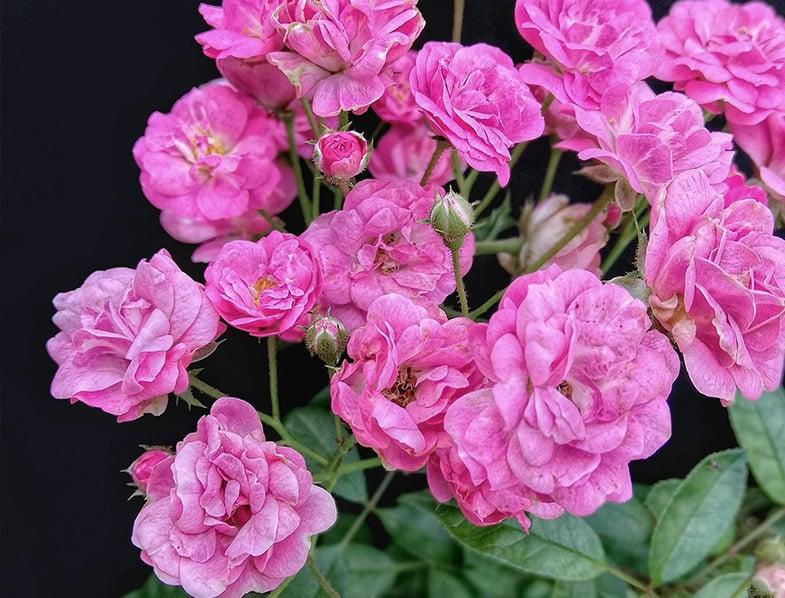 China Doll Rose