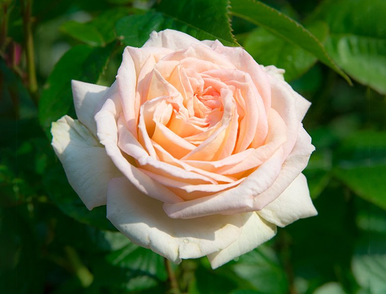 Madame Anisette Rose