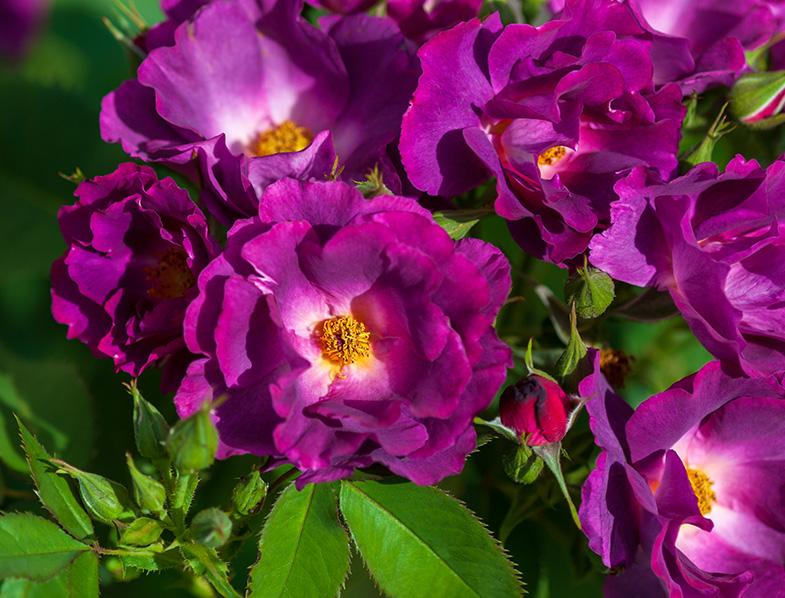 Rhapsody in Blue Rose