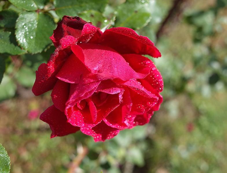 Victor Hugo Rose