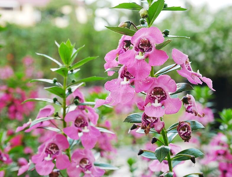 Pink angelonia angustifolia