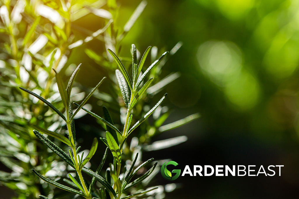 "Rosemary Guide: How to Grow & Care for ""Salvia Rosmarinus"""