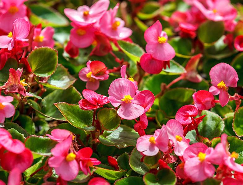 Pink wax begonia
