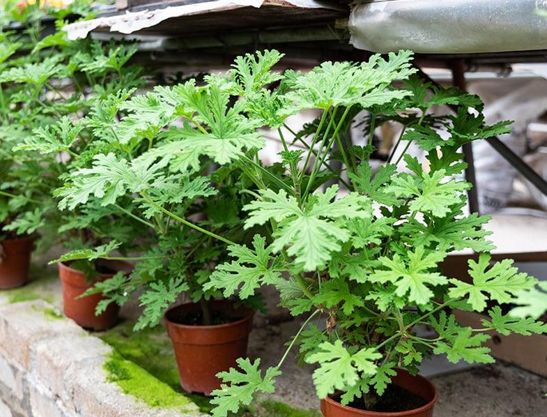 Citronella plant are natural mosquito repellent