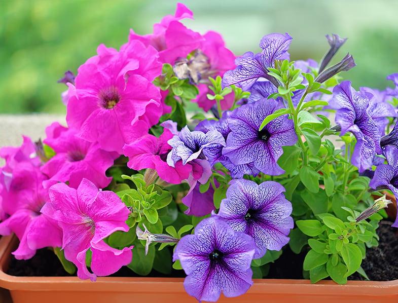 Pink and violet Petunia
