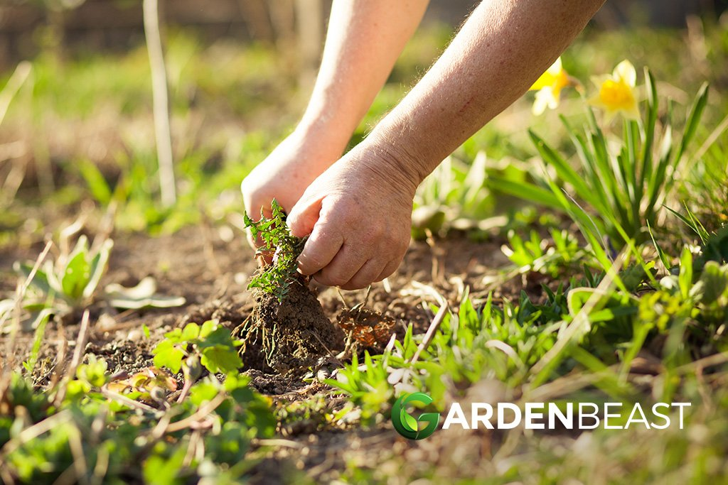 Garden Weeds: The Good & The Bad — What to Keep & What to Get Rid Of