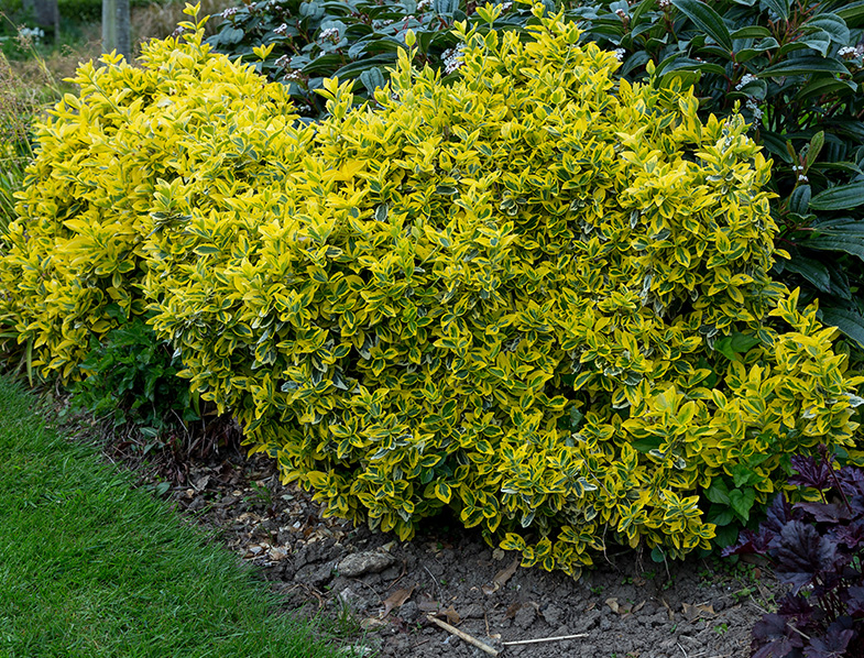 Euonymus fort Emerald 'n' Gold