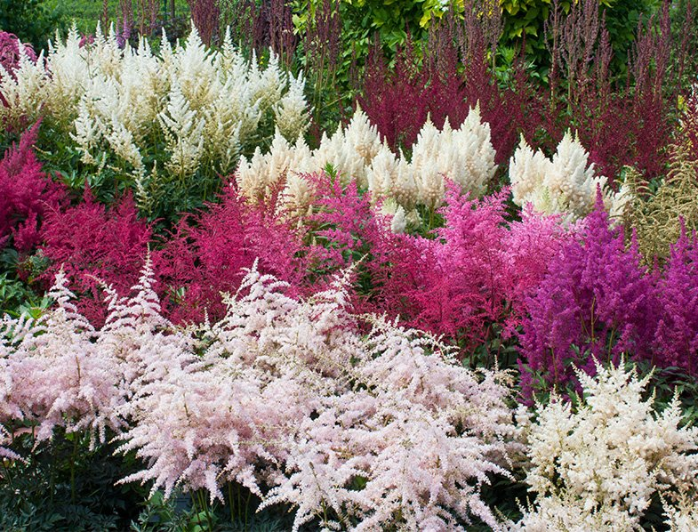 Multicolored astilbe plants