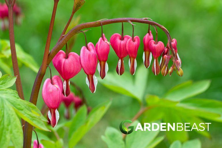 Bleeding Heart flower