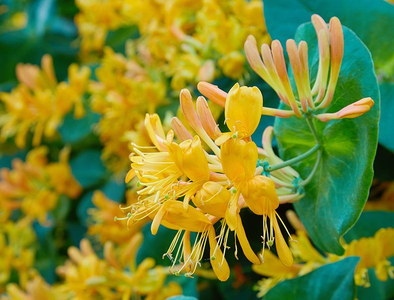Blooming yellow honeysuckle Bush