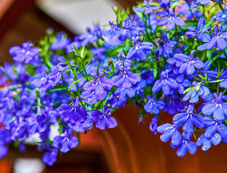 Blue violet Lobelia erinus