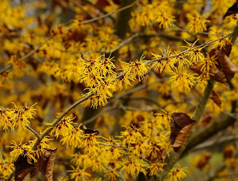 Hazel Witch shrub
